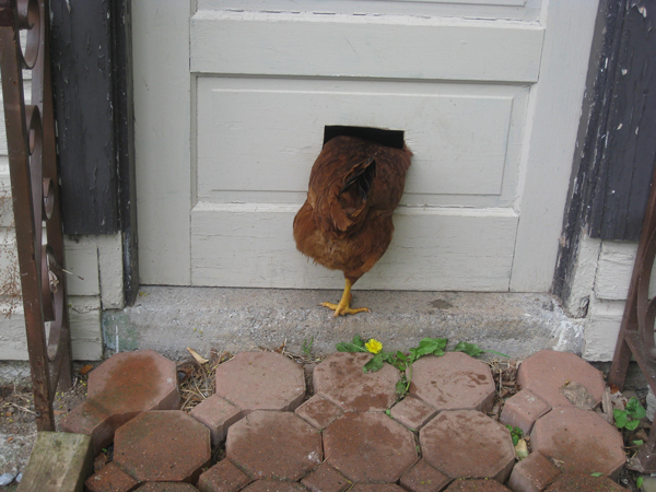 chicken-through-cat-door.jpg