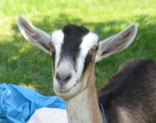 renae-the-goat.jpg