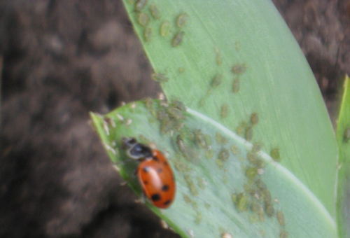 ladybug-and-aphids-on-iris.jpg